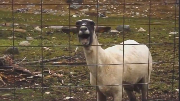 the 10 best screaming goat music videos the frisky