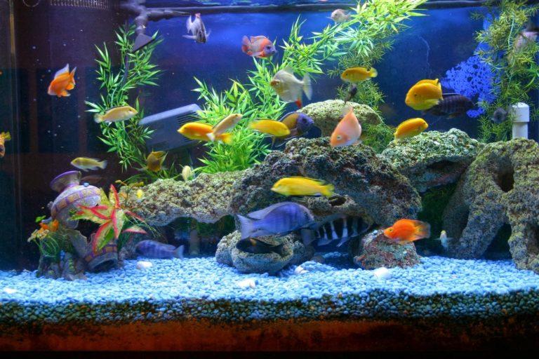 Great Starter Freshwater Aquarium Fish - The Frisky