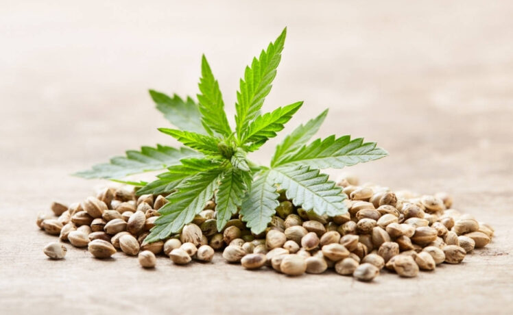 How to Identify Quality High THC Seeds